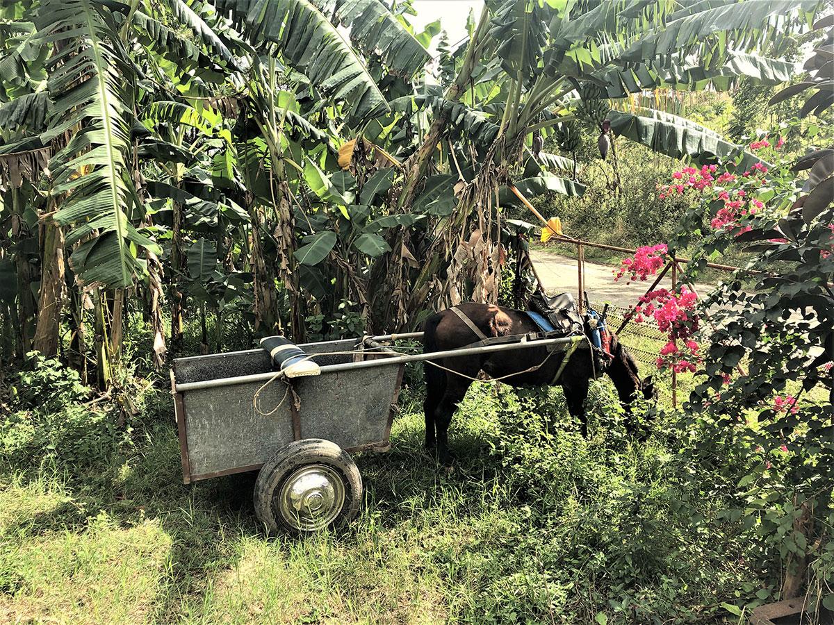 Dansacuba charrette avec un âne cubain