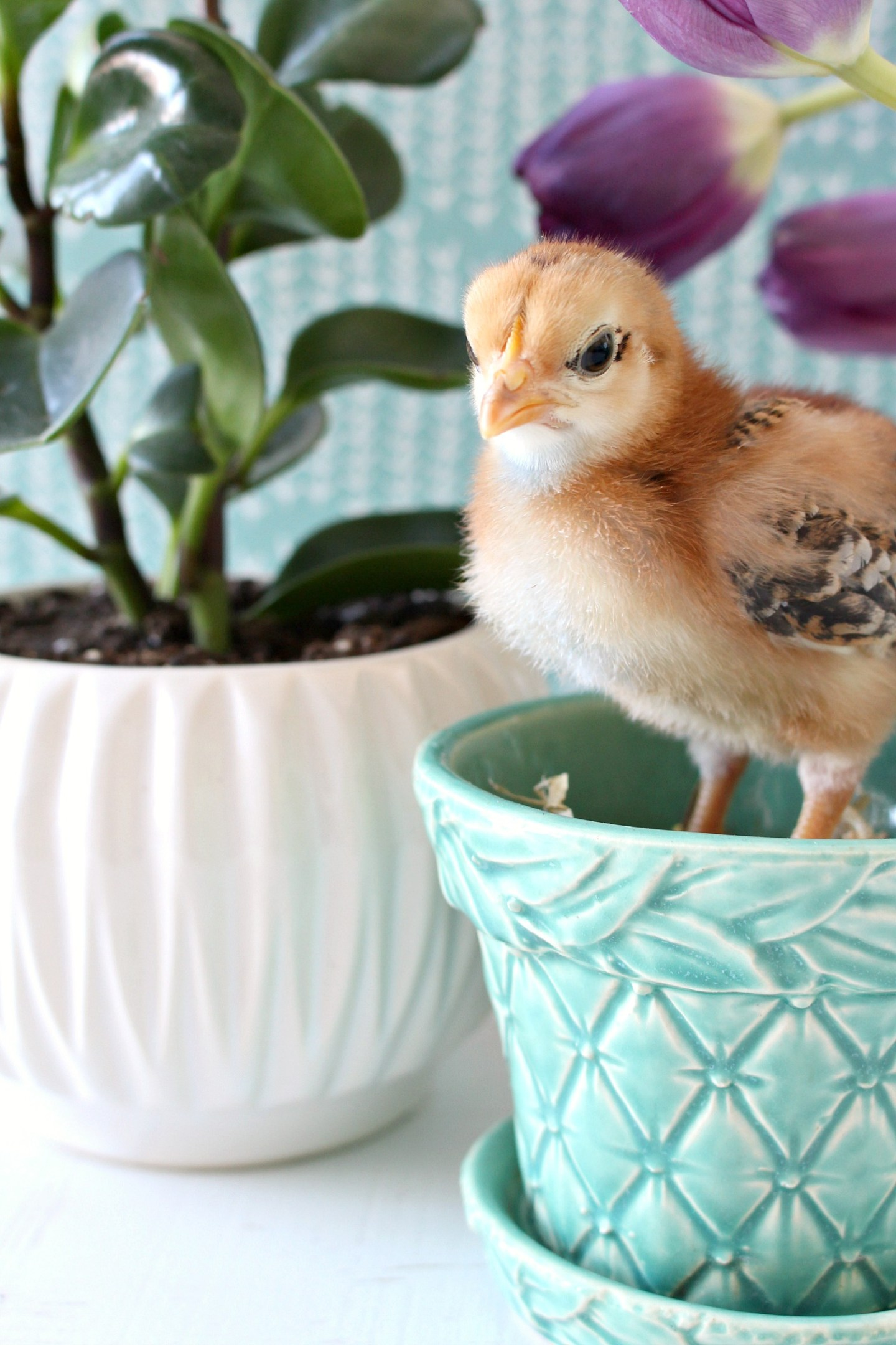 Spring Chick Standing in Turquoise Planter