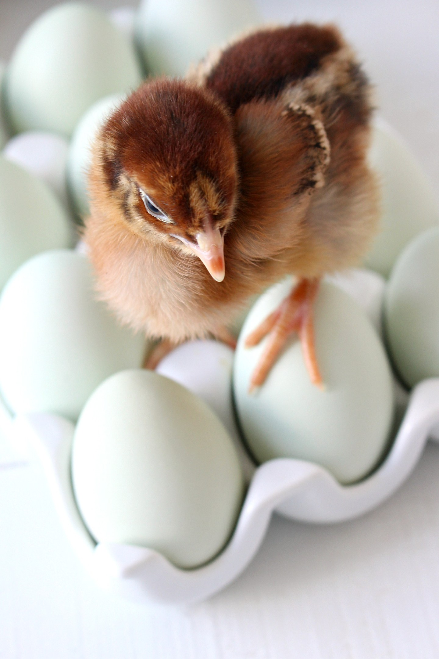 Baby Chicken Posing on Eggs