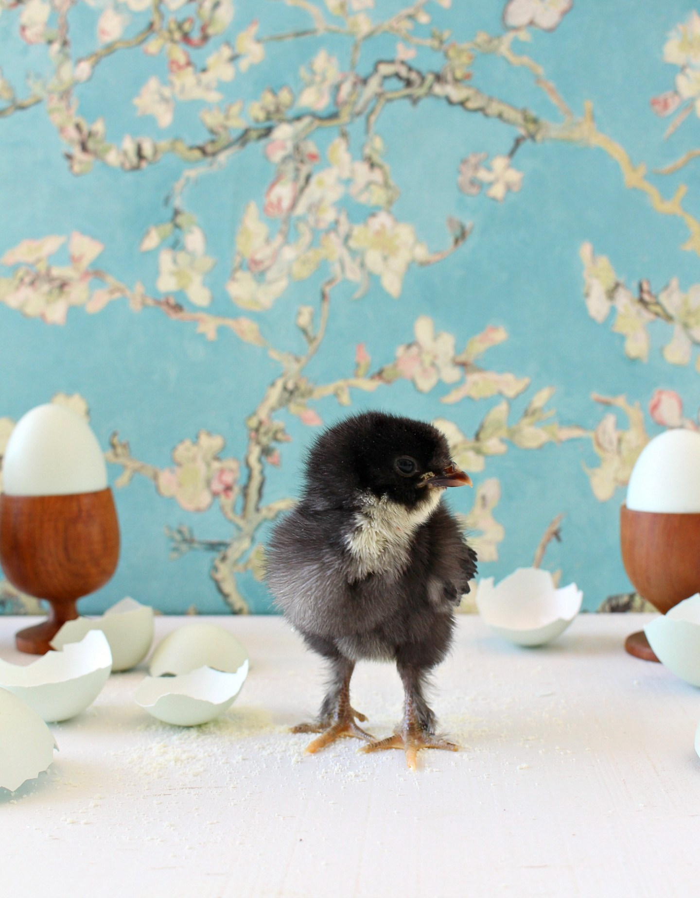 Photos of Baby Chickens