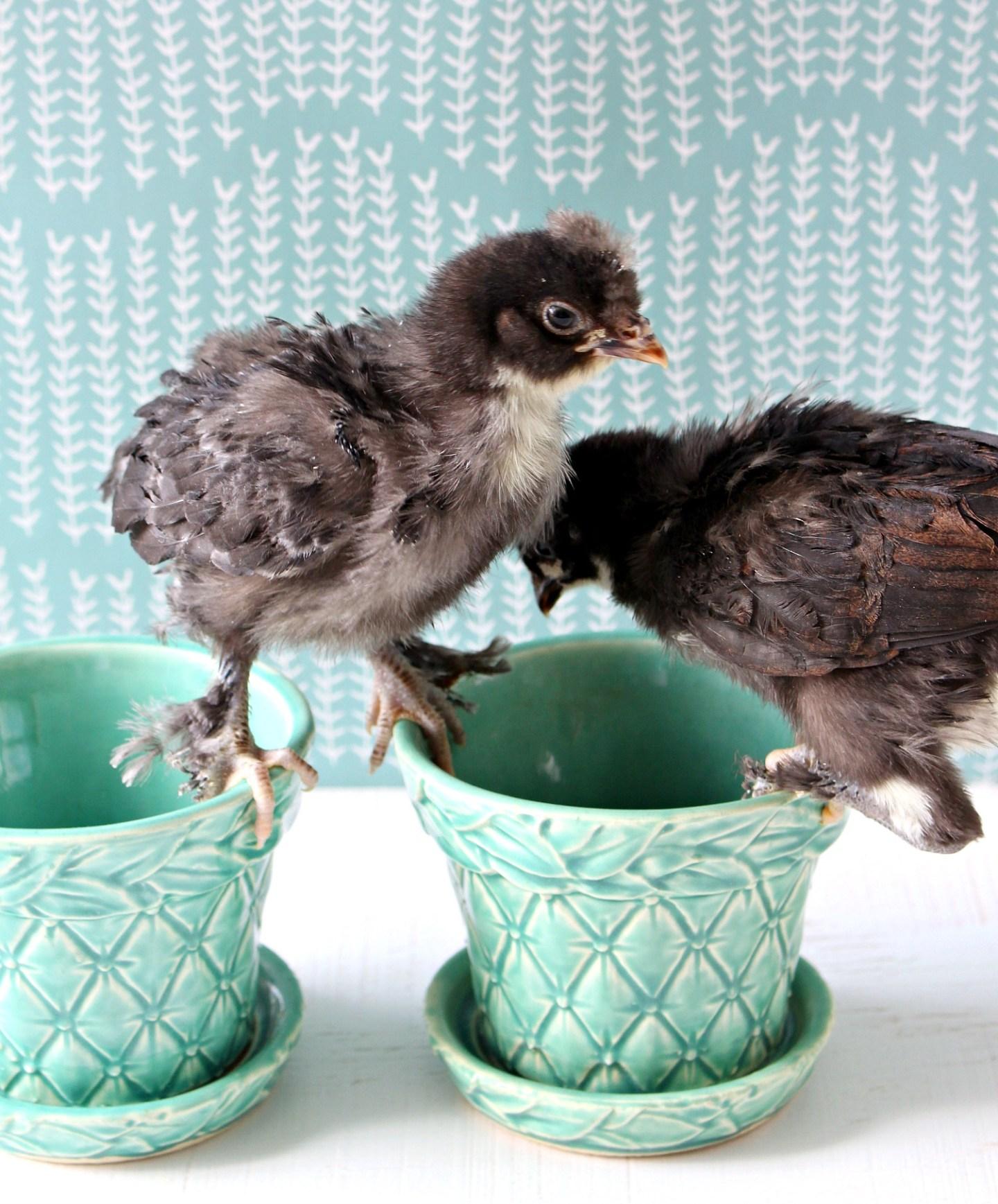 Copper Maran Chicks