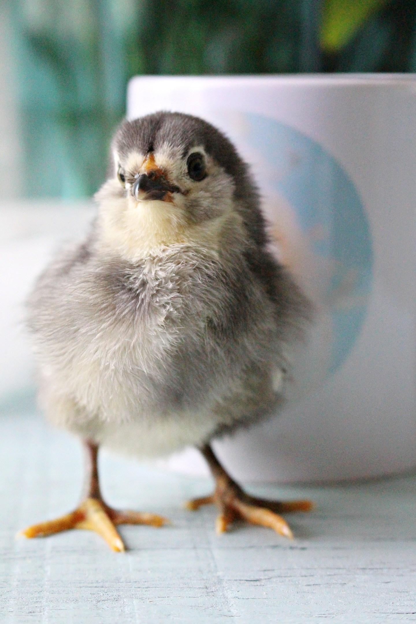 baby maran chick