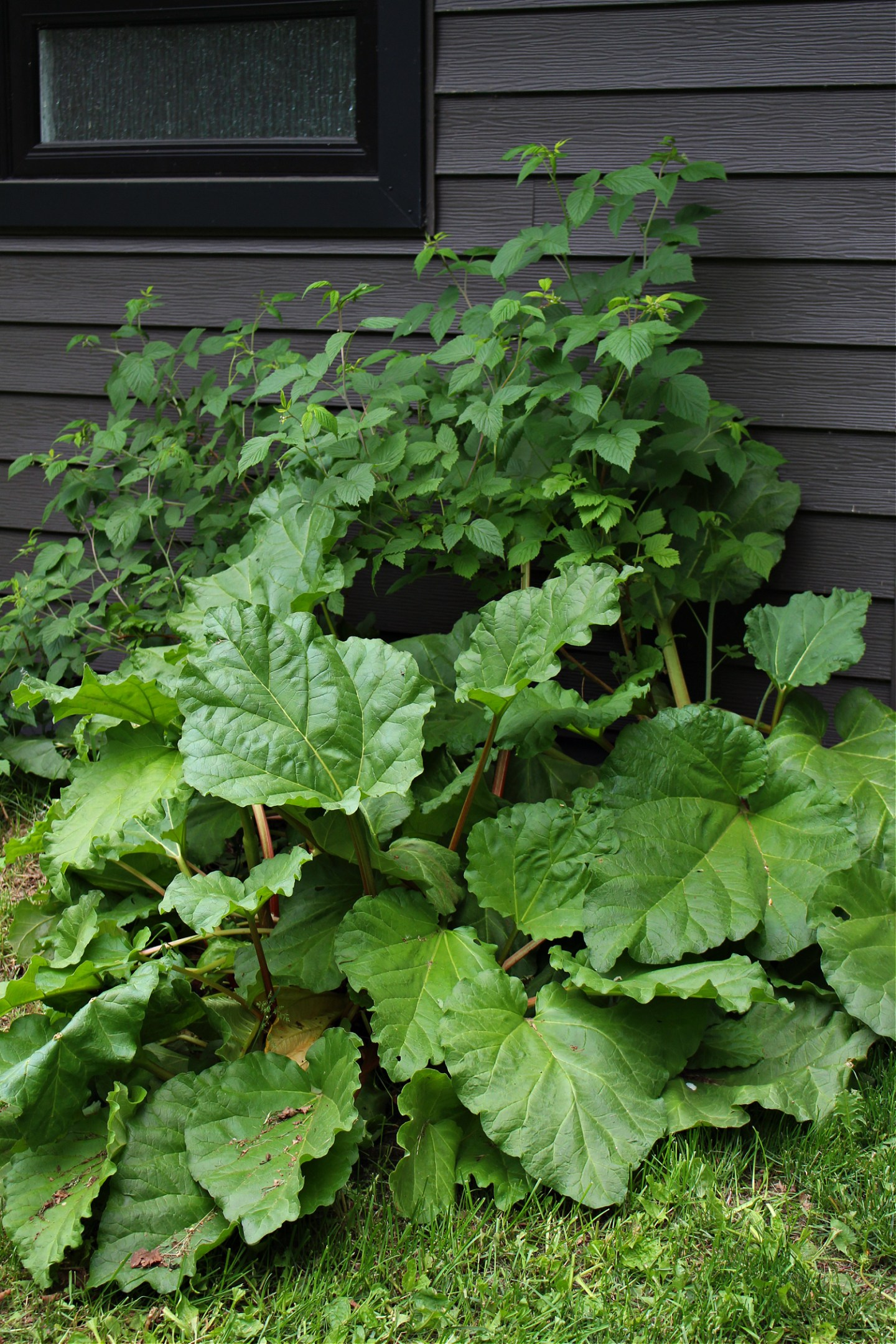 Big Rhubarb Patch