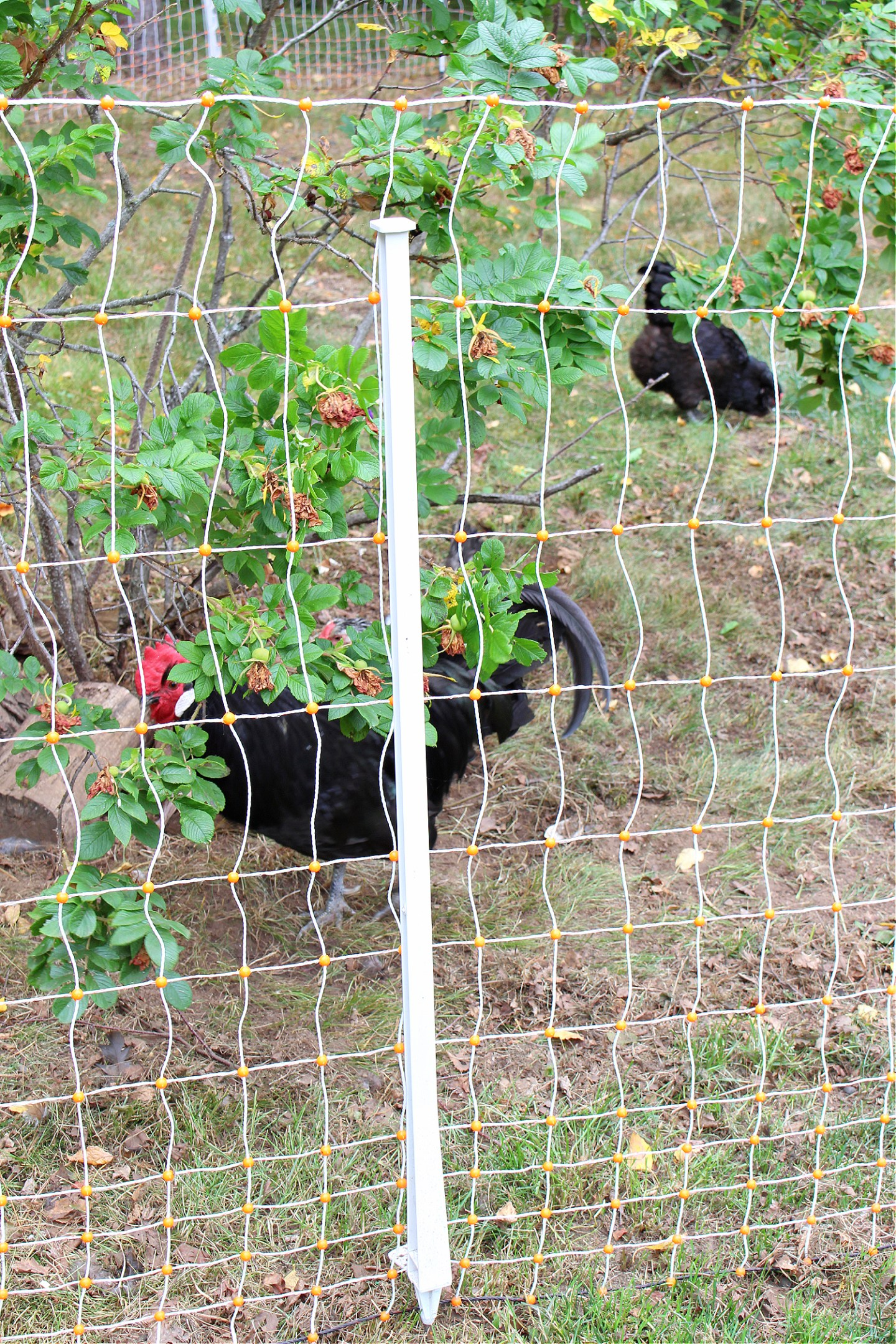 Portable Electric Fence for Chickens