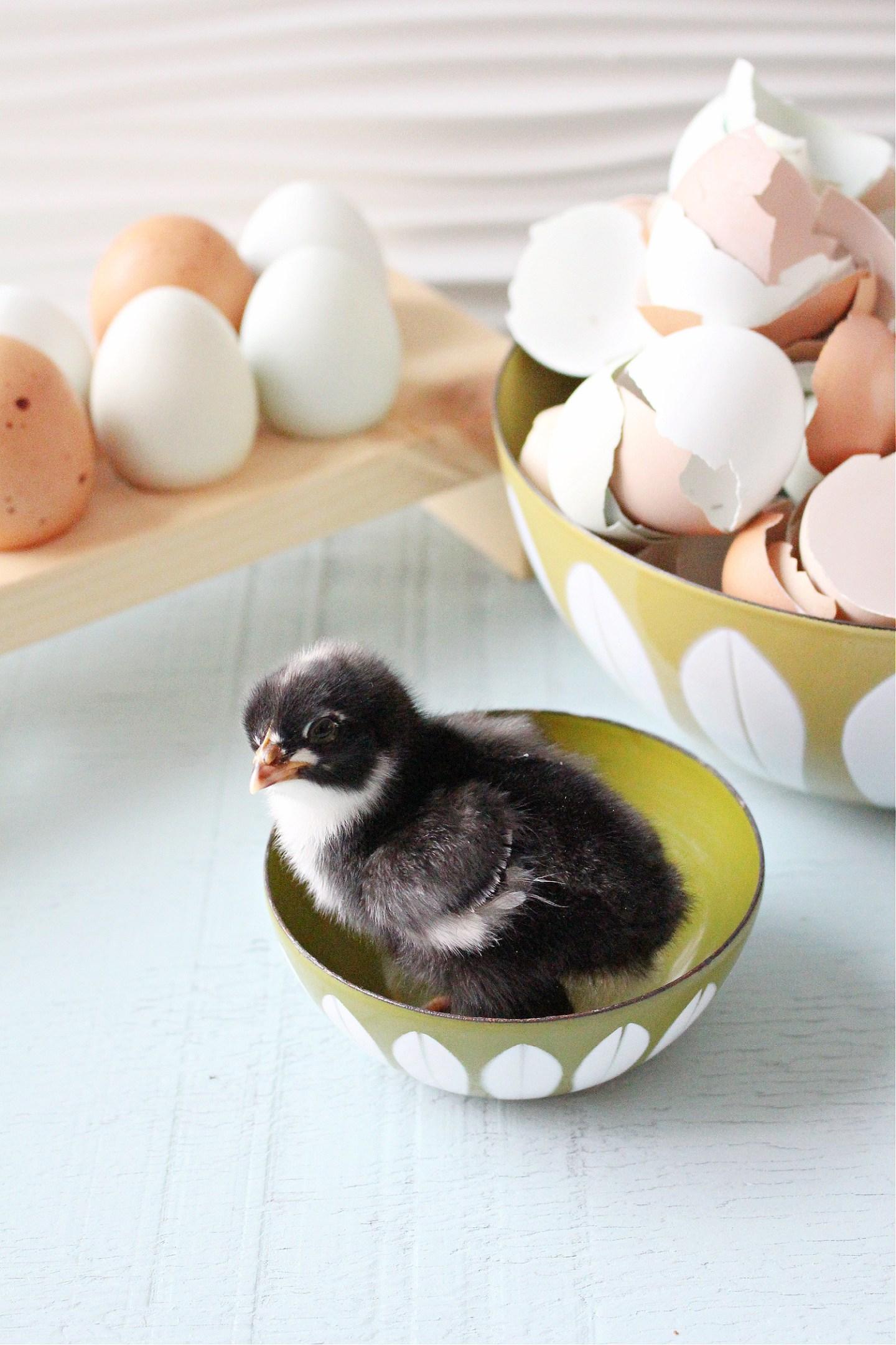 Maran Chick