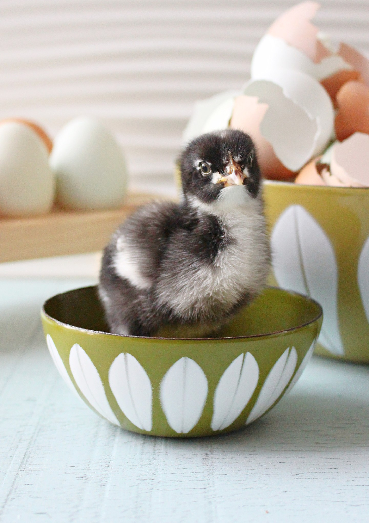Cute Baby Chick Photos