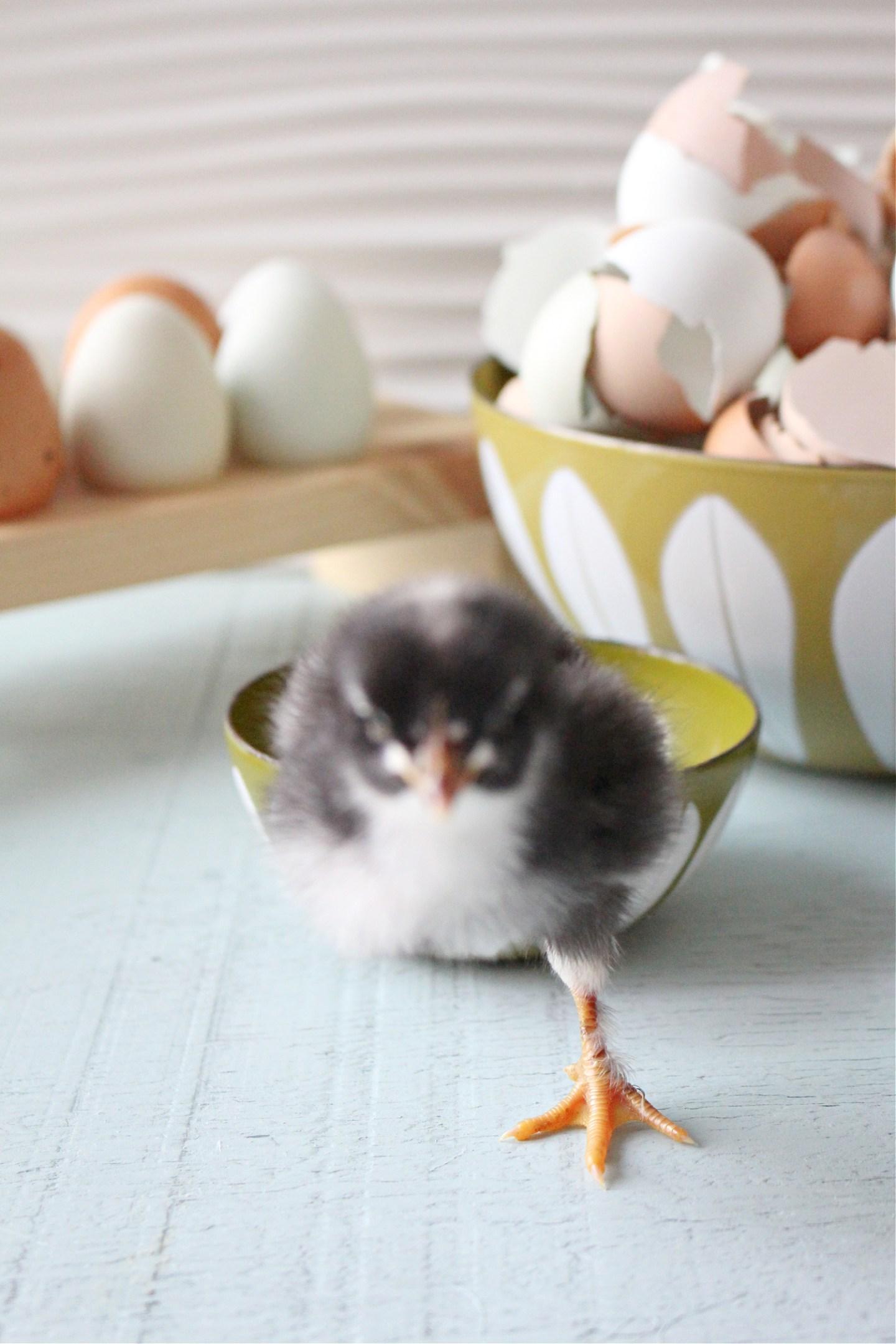 Baby Chick Photos Vol. 3