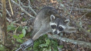 Photo of raccoon caught in Egg Trap