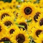 Sunflowers – One Of Natures Miracle Plants