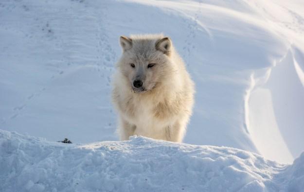 Curious Arctic Wolf