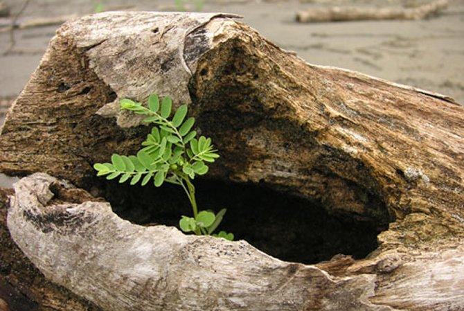 Rituale im Leben, Pflanze wächst aus liegendem Baumstamm