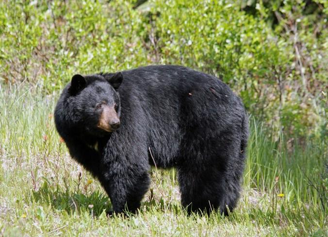 black bear_matlacha