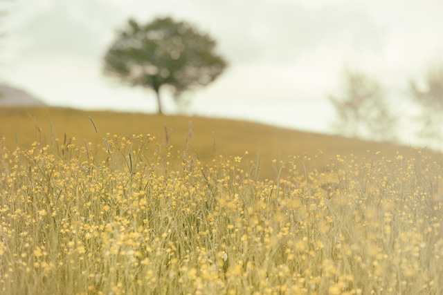 landscape-field-yellow-meadow
