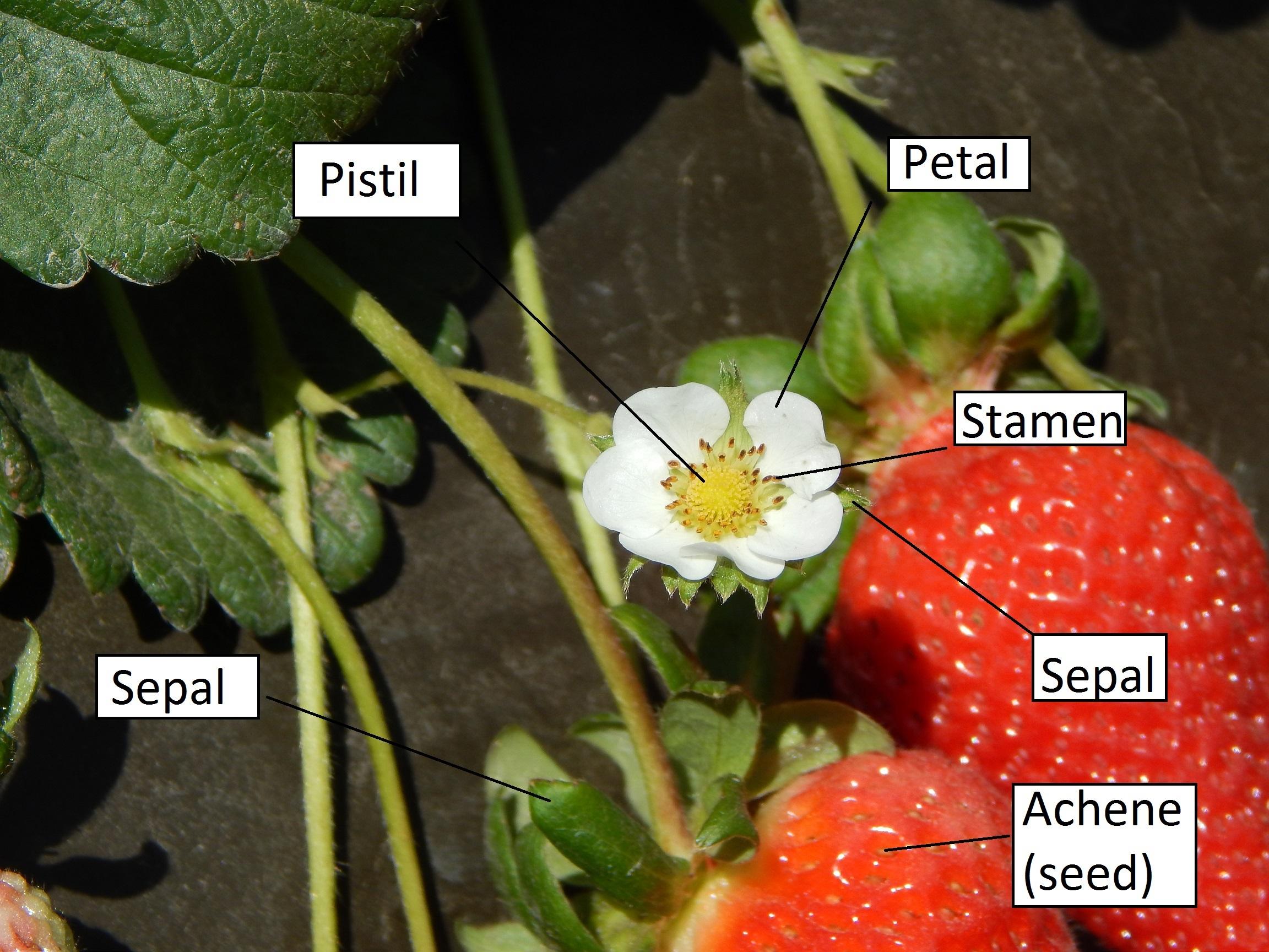 strawberry fruit diagram toyota land cruiser prado 120 wiring strawberries 101 darensberries  santa maria