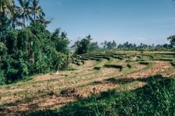 Canggu Rice Fields