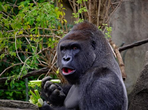 GORILLA, AMAZON RATINGS, BOOK PUBLISHING, MARKETING