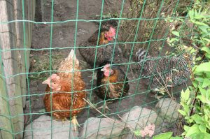 Alle vier Hühner. Foto