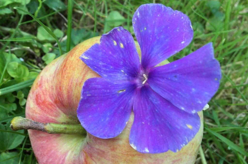 Apfel mit Blüte Fotografie