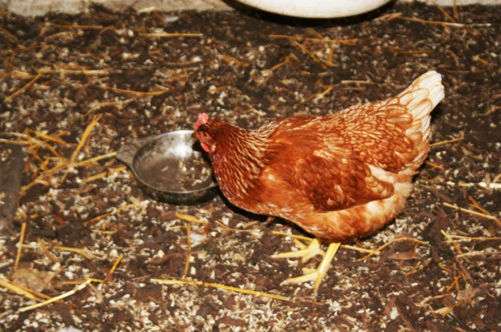 Hella, eine unsere Hühner. Foto