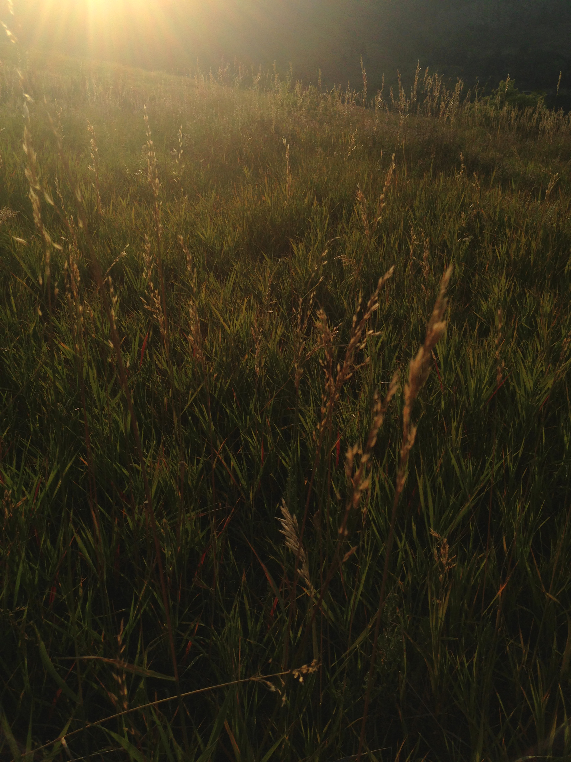 Grasses at the Flatirons, Boulder Colorado