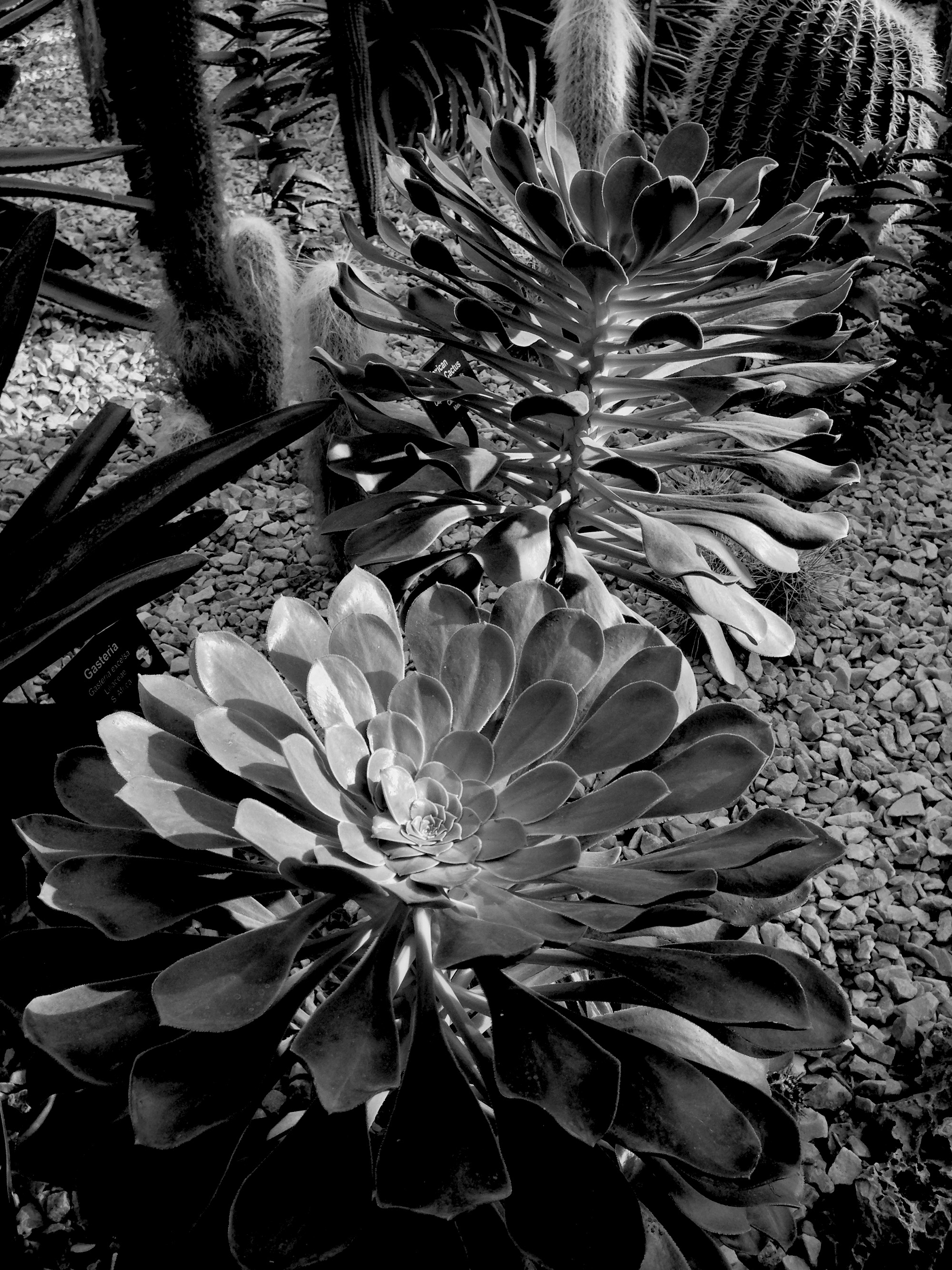 Aeoniums, Garfield Park Conservatory, Chicago Illinois