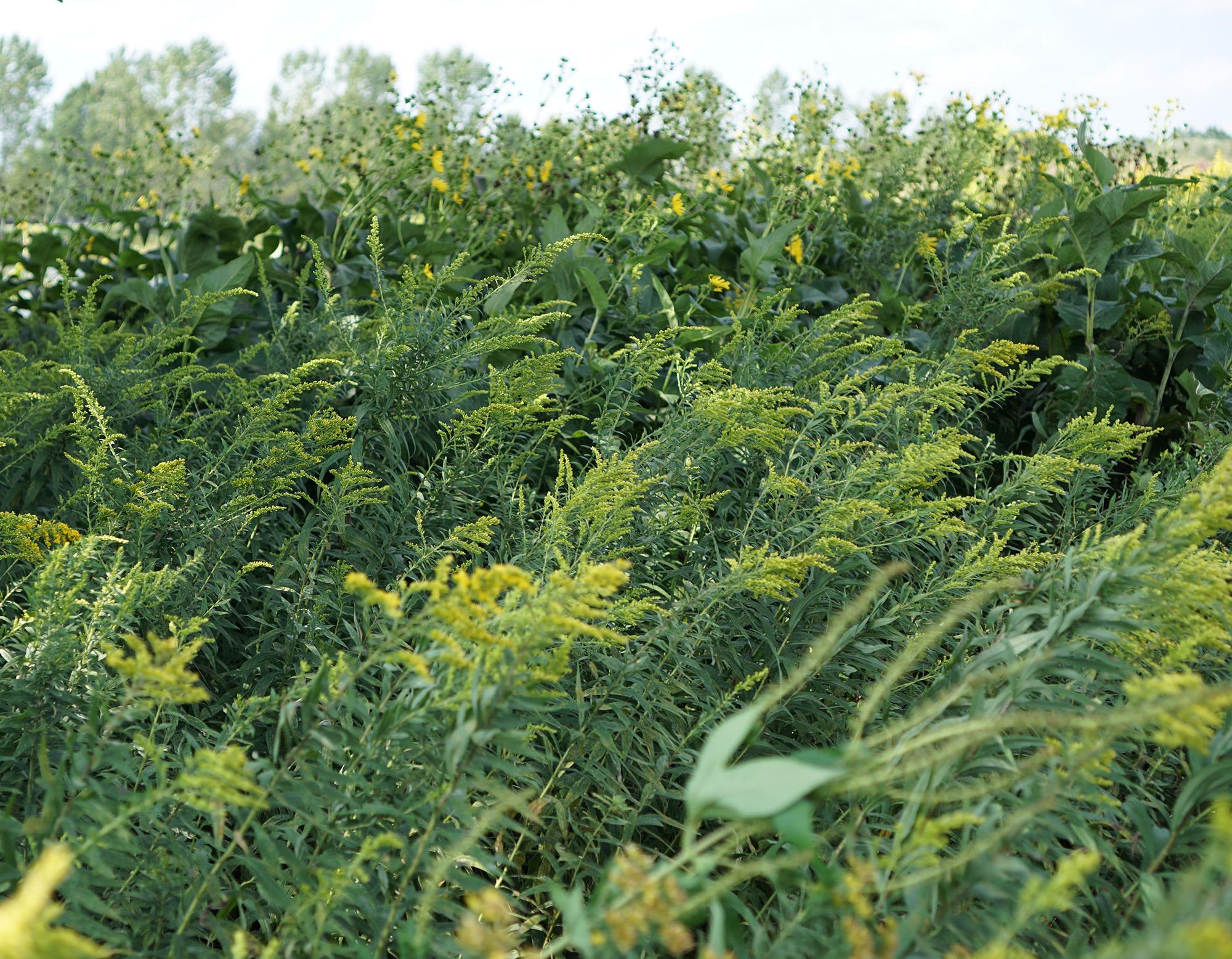 Tallgrass prairie, Chicago Botanic Garden / Darker than Green