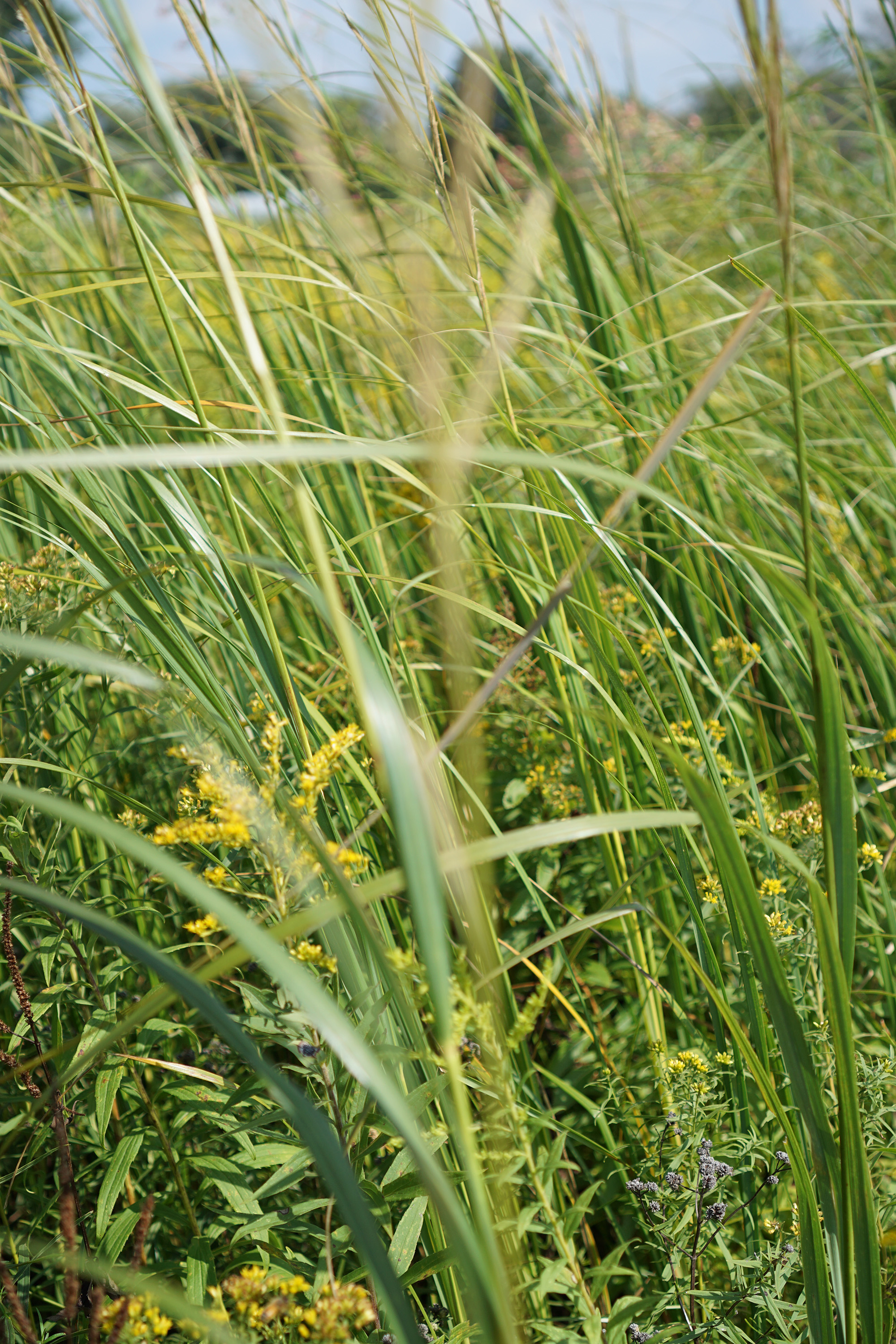 Grasses in the tallgrass prairie, Chicago Botanic Garden / Darker than Green