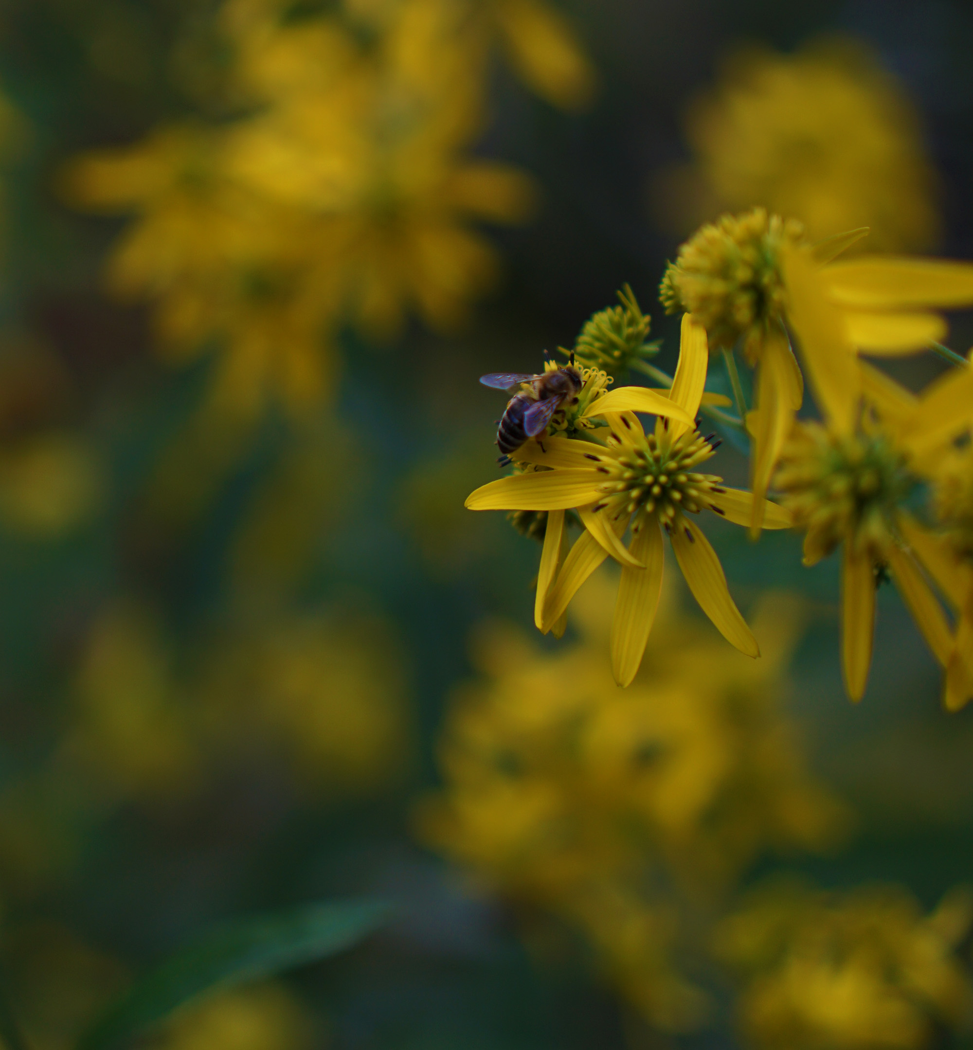 Bee on flowers, North Park Village Nature Center / Darker than Green