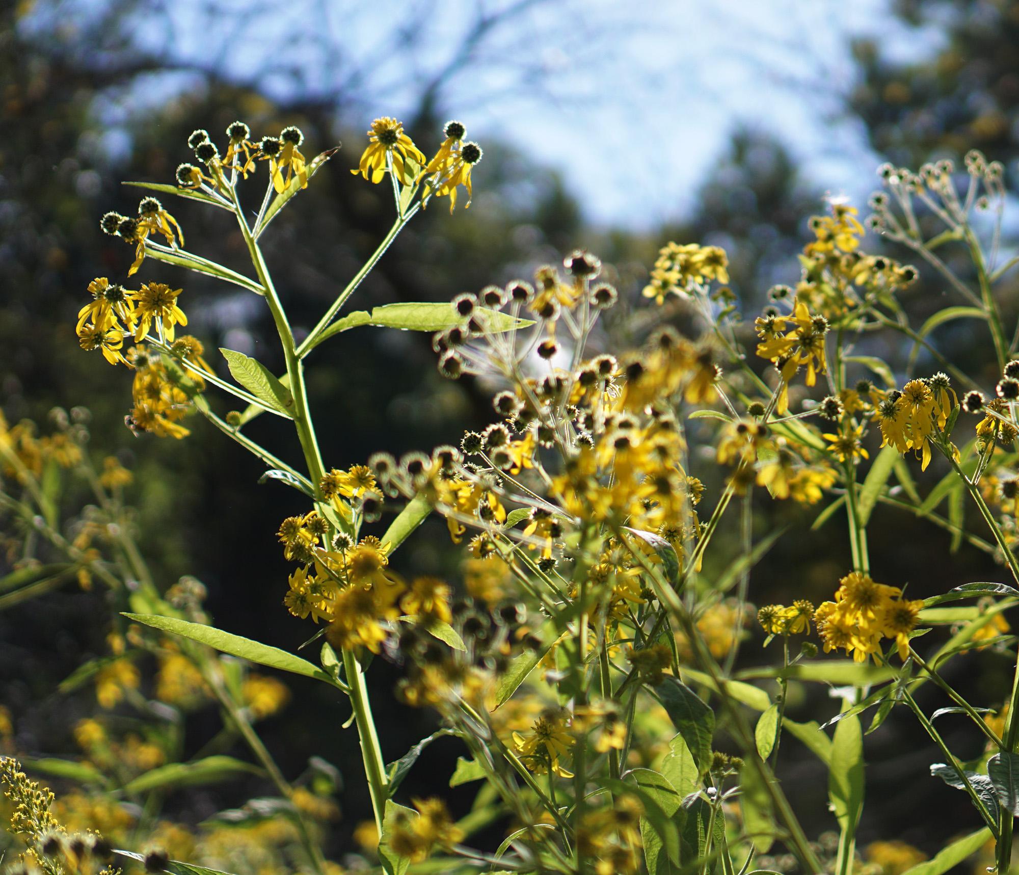 Wildflowers, North Park Village Nature Center / Darker than Green