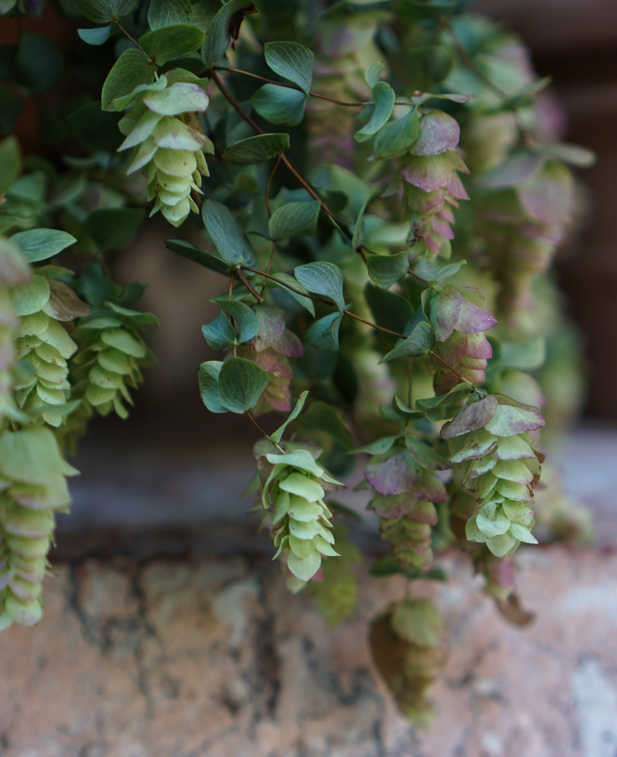 Hops in a garden at the Cloisters, New York City / Darker than Green