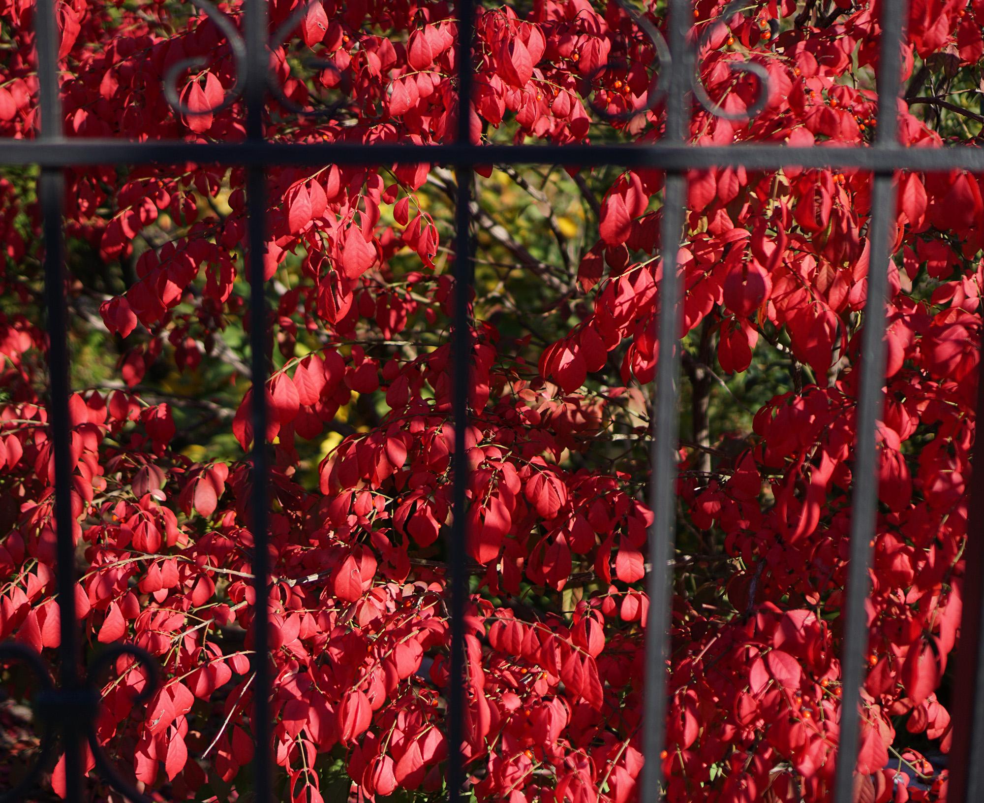 Burning bush in fall / Darker than Green