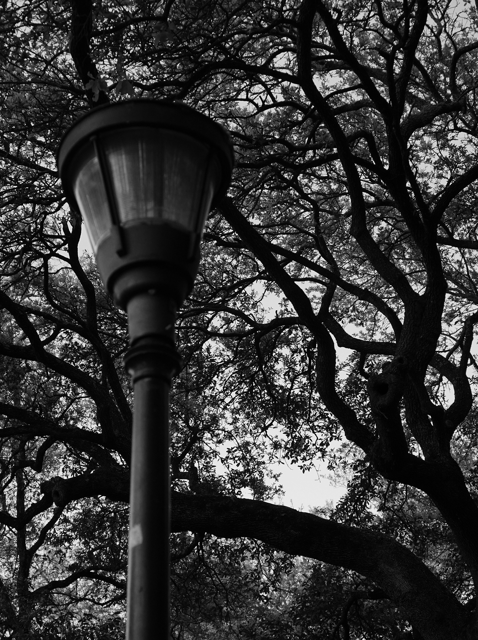 Live oaks in Washington Square Park, New Orleans / Darker than Green