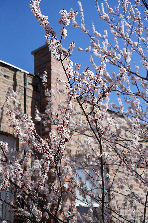 Purpleleaf Plum tree (Prunus cerasifera) in full flower, Chicago IL / Darker than Green