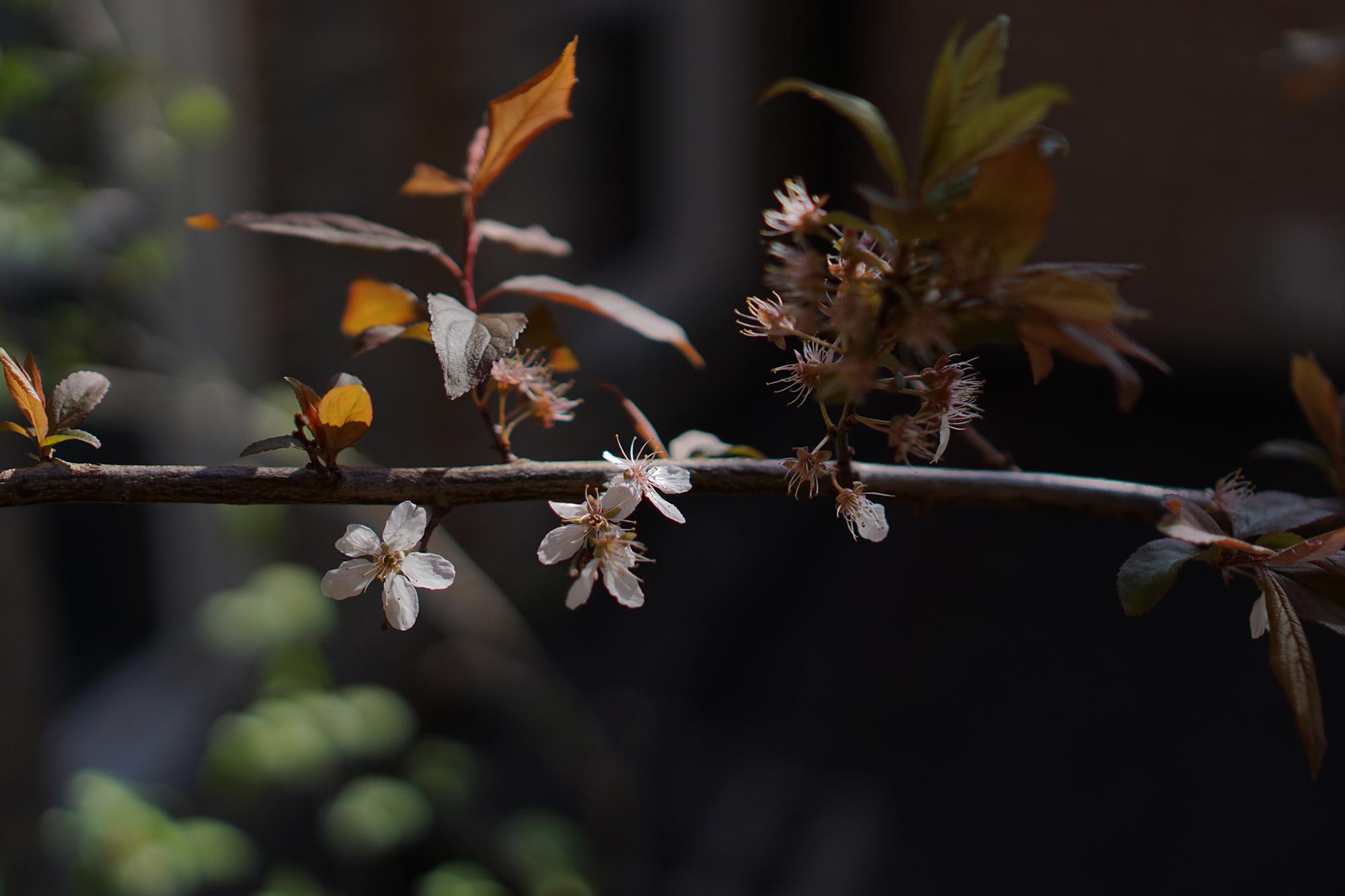 Purpleleaf Plum tree (Prunus cerasifera) flowers and leaves, Chicago IL / Darker than Green