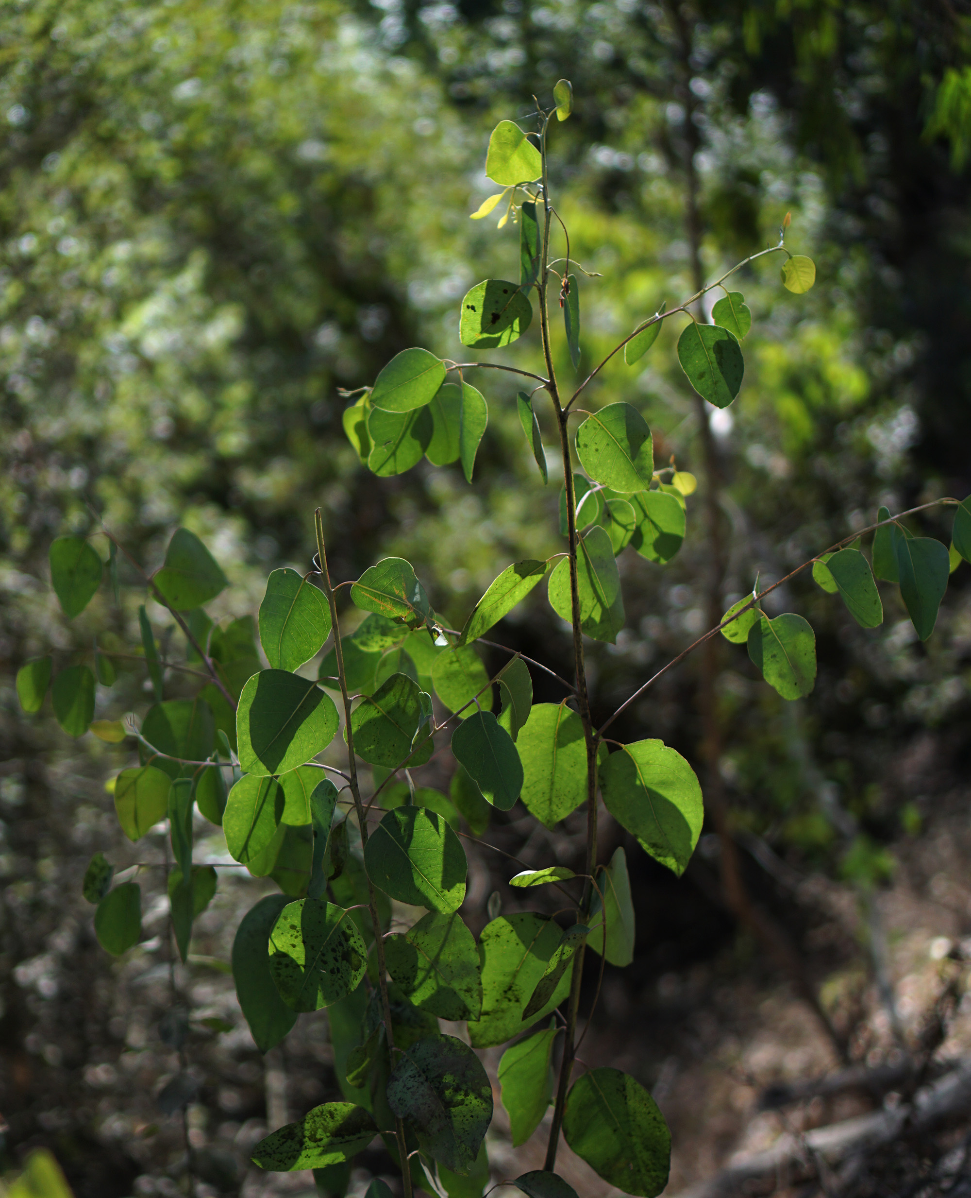 Young eucalyptus in Shepherd Canyon Park, Oakland California / Darker than Green