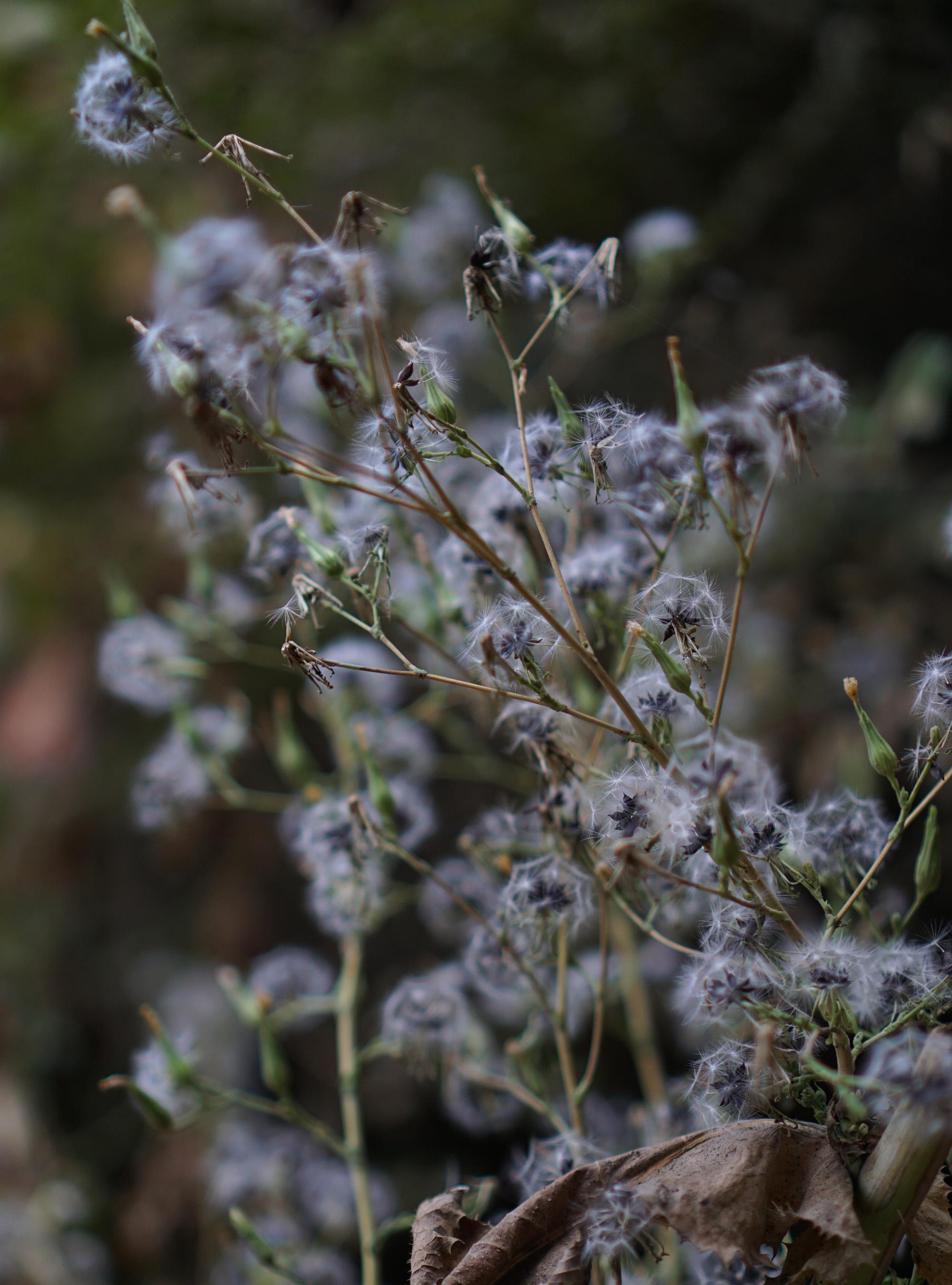 Fluffy weeds, Oakland California / Darker than Green