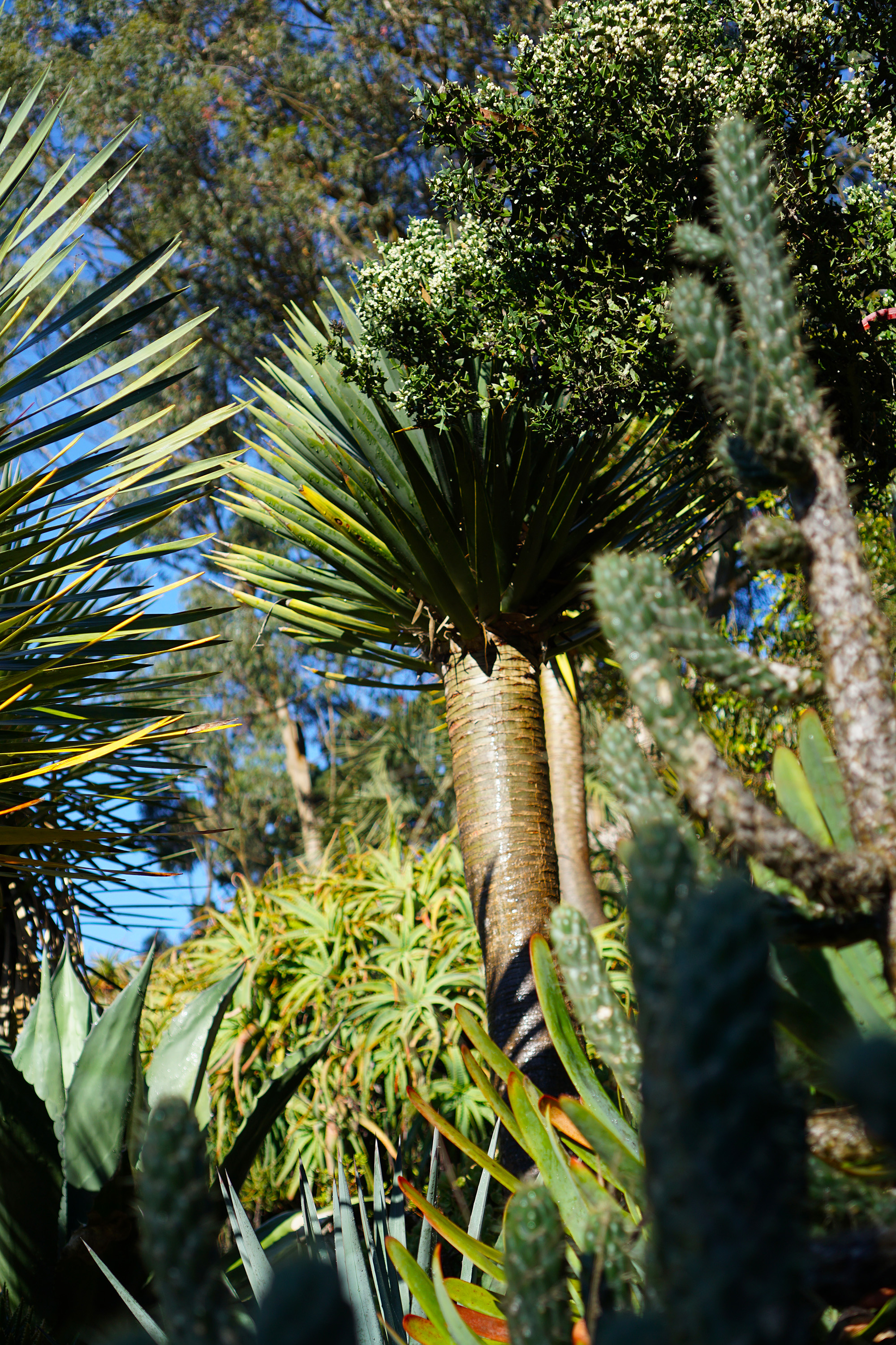 Morning desert plants, San Francisco Botanical Garden / Darker than Green