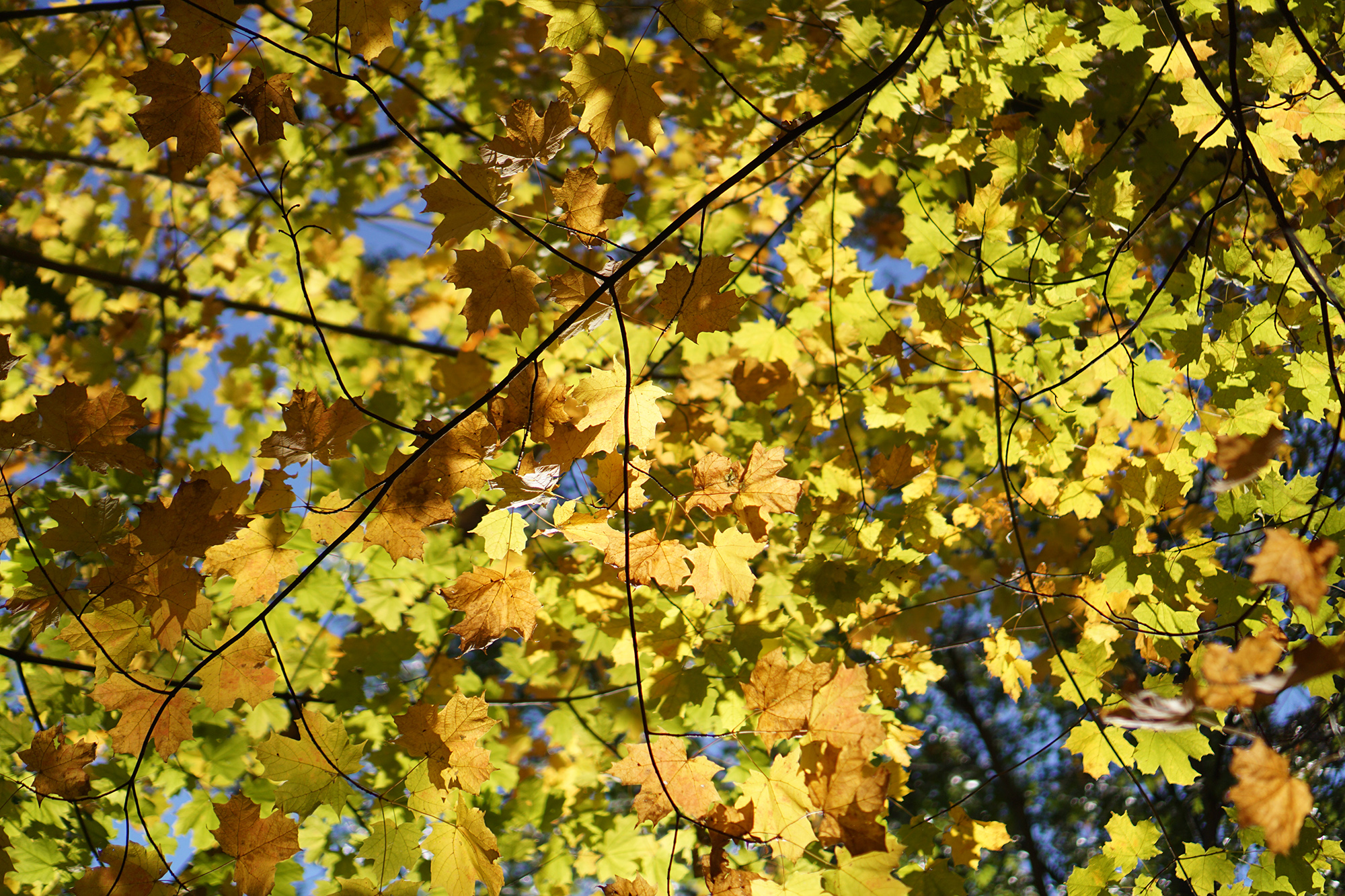 Bright yellow oak leaves, Miami Woods, Morton Grove Illinois / Darker than Green