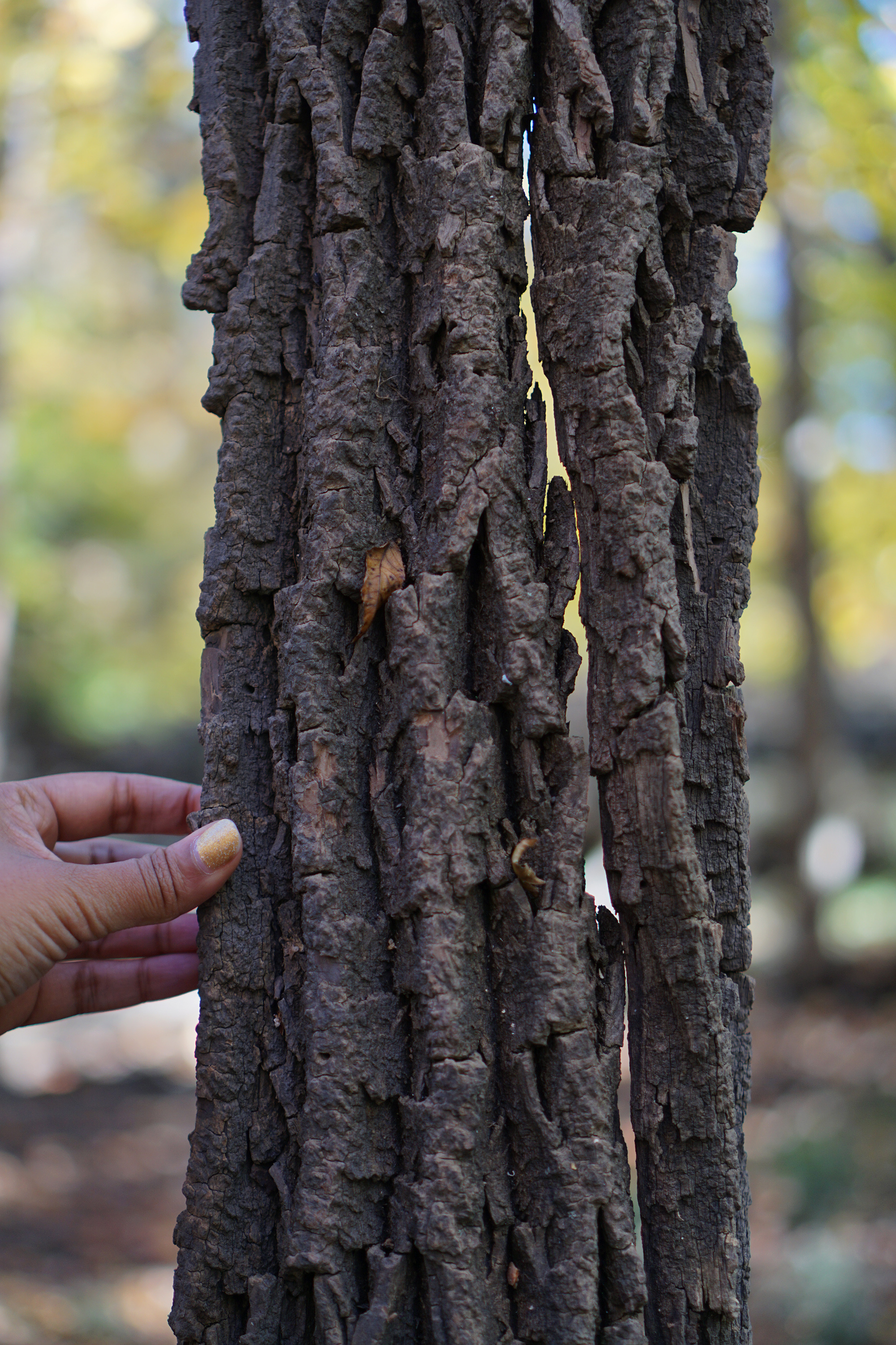 Shed bark of an ash tree, Miami Woods, Morton Grove Illinois / Darker than Green