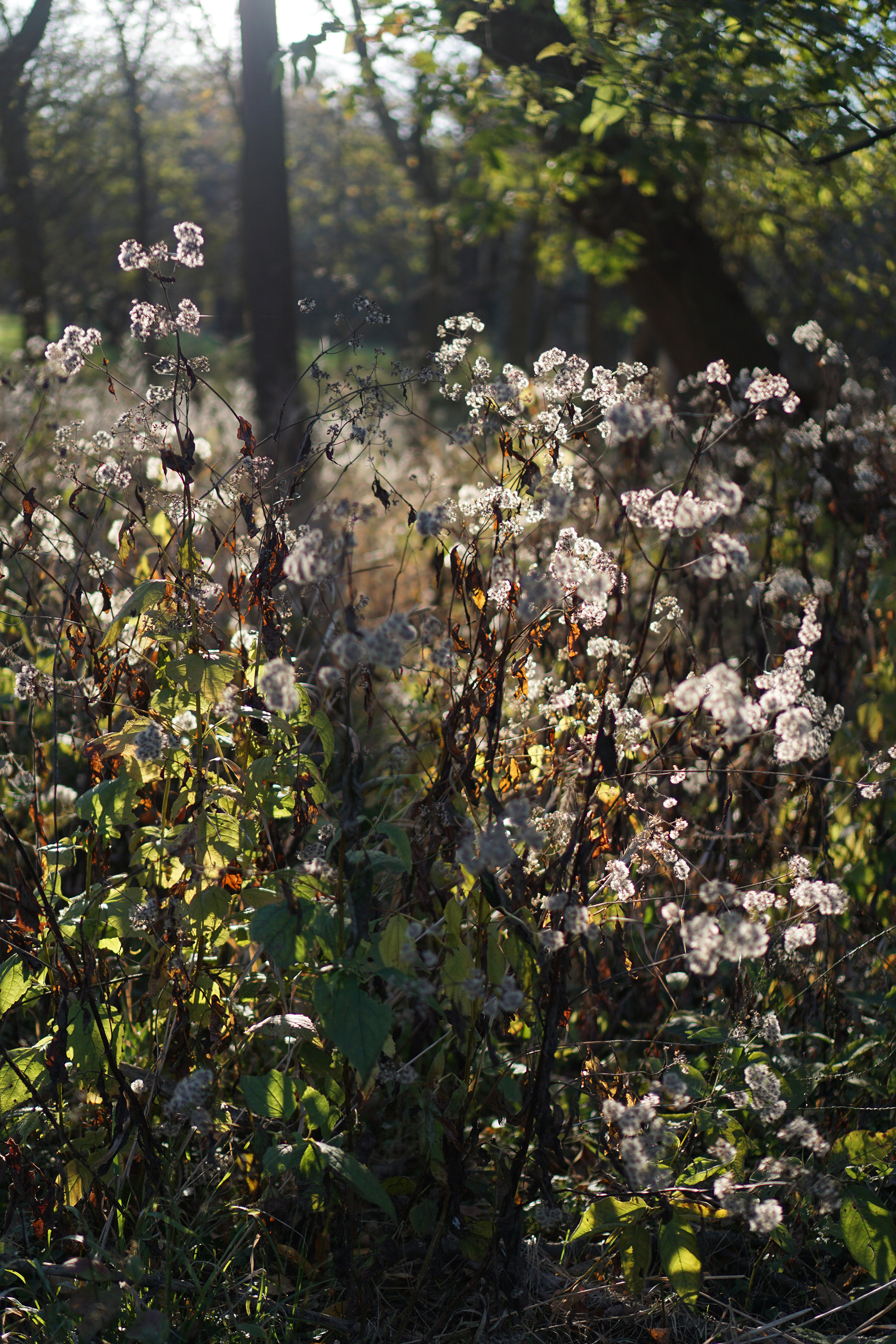Wildflowers going to seed in the autumn light, Miami Woods, Morton Grove Illinois / Darker than Green
