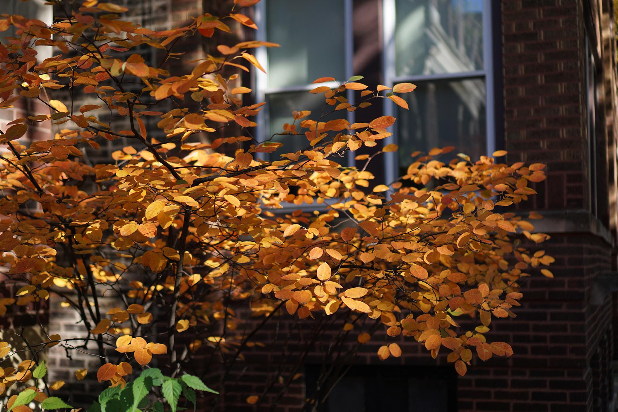 Serviceberry tree in autumn, Chicago IL / Darker than Green