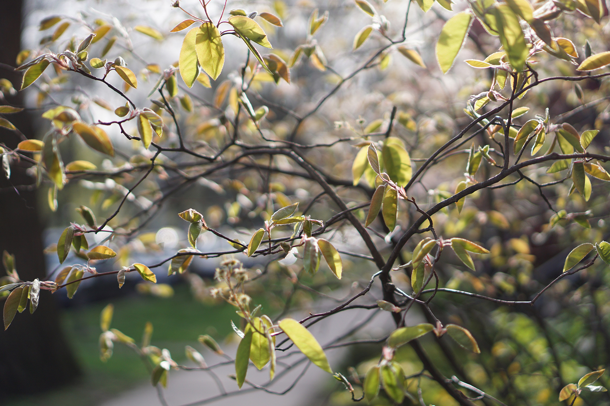 Serviceberry tree in spring, Chicago IL / Darker than Green