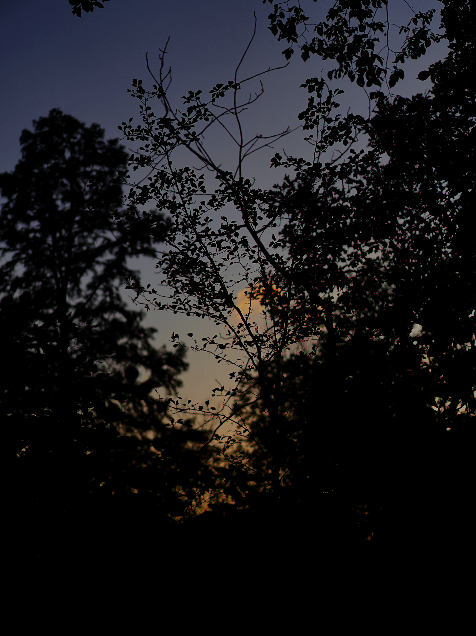 Twilight through silhouetted trees, Chicago IL / Darker than Green