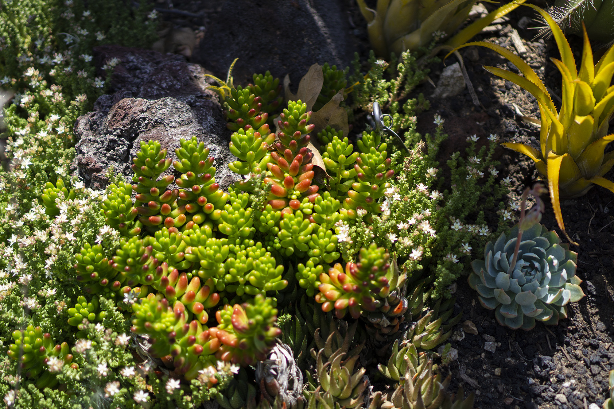 Small succulents, Desert Garden, Huntington Library, San Marino CA / Darker than Green