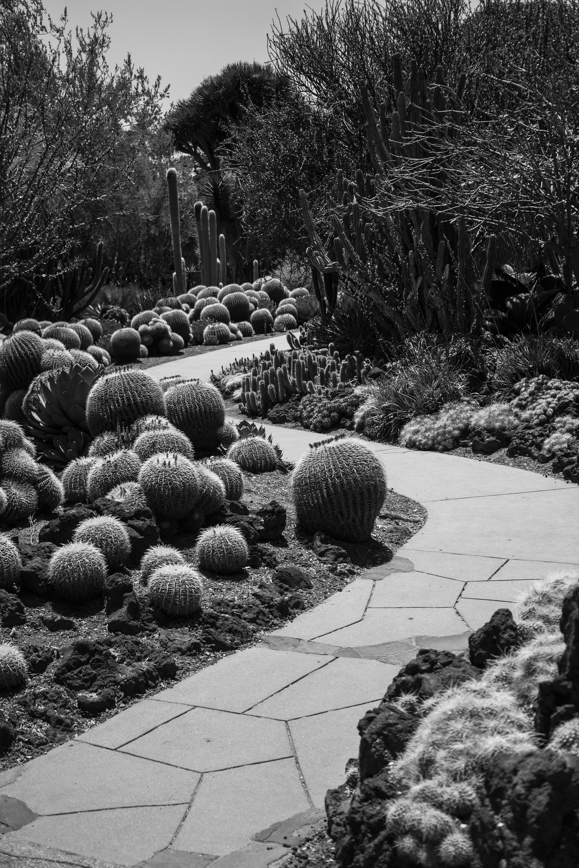 Curved path among barrel cacti, Desert Garden, Huntington Library, San Marino CA / Darker than Green