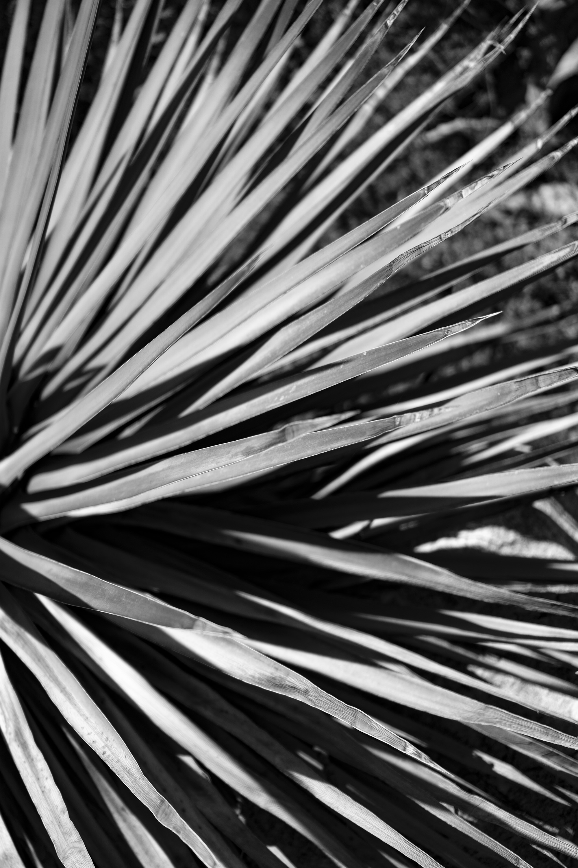 Thin spiny agave leaves, Desert Garden, Huntington Library, San Marino CA / Darker than Green