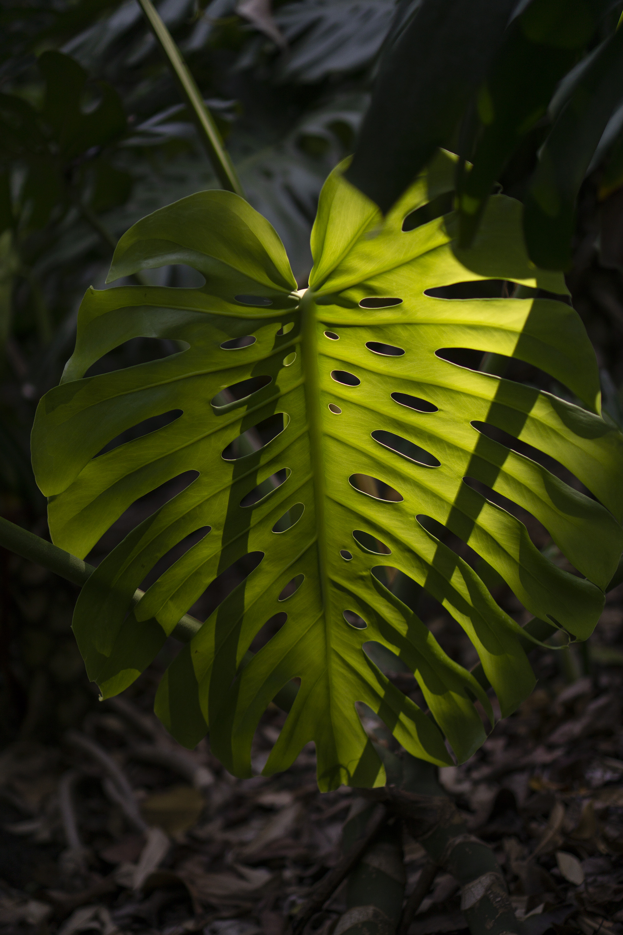 Monstera Deliciosa in the shade, Desert Garden, Huntington Library, San Marino CA / Darker than Green
