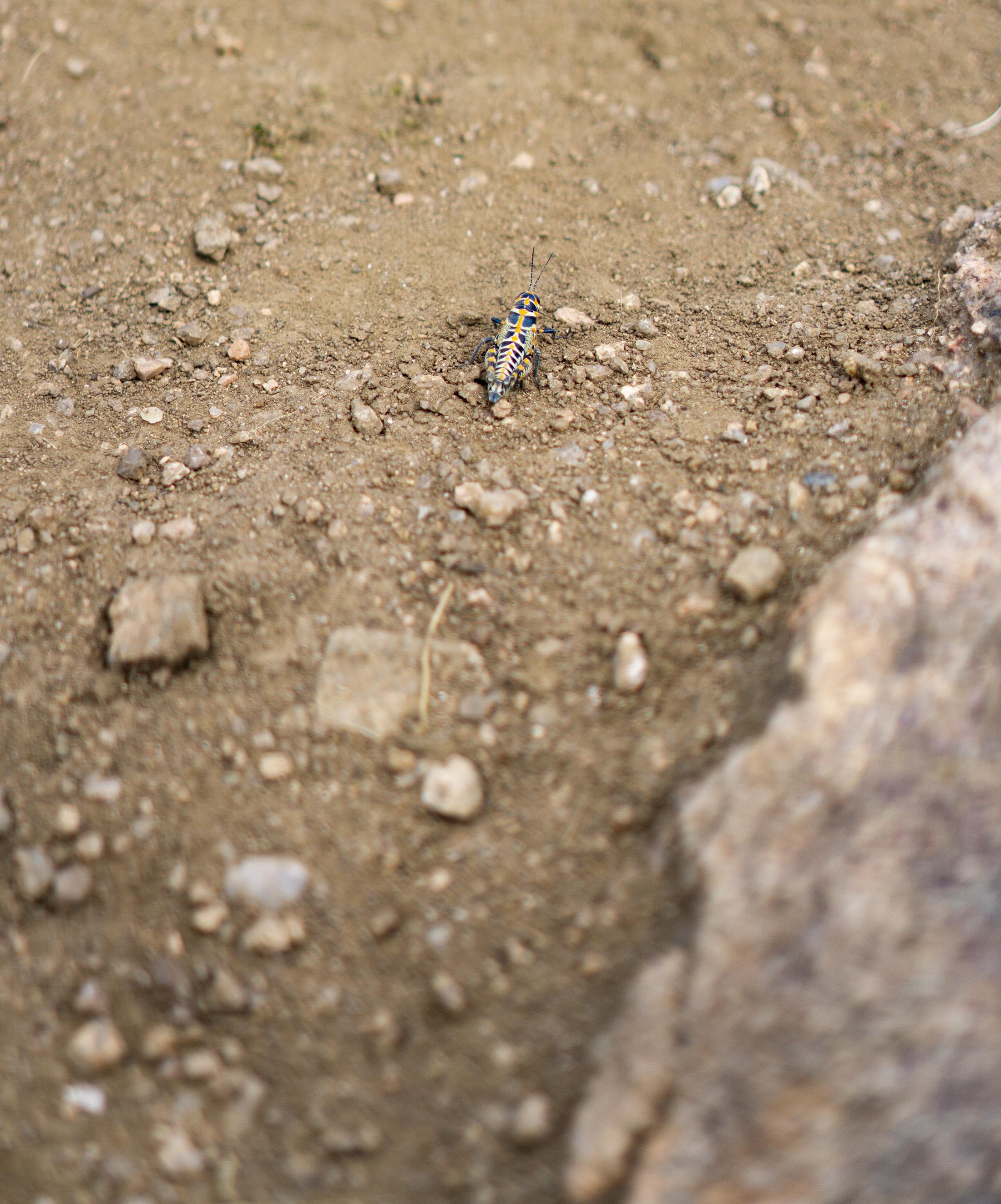 Rainbow grasshopper (Dactylotum bicolor) along Horsetooth Rock trail, Colorado / Darker than Green