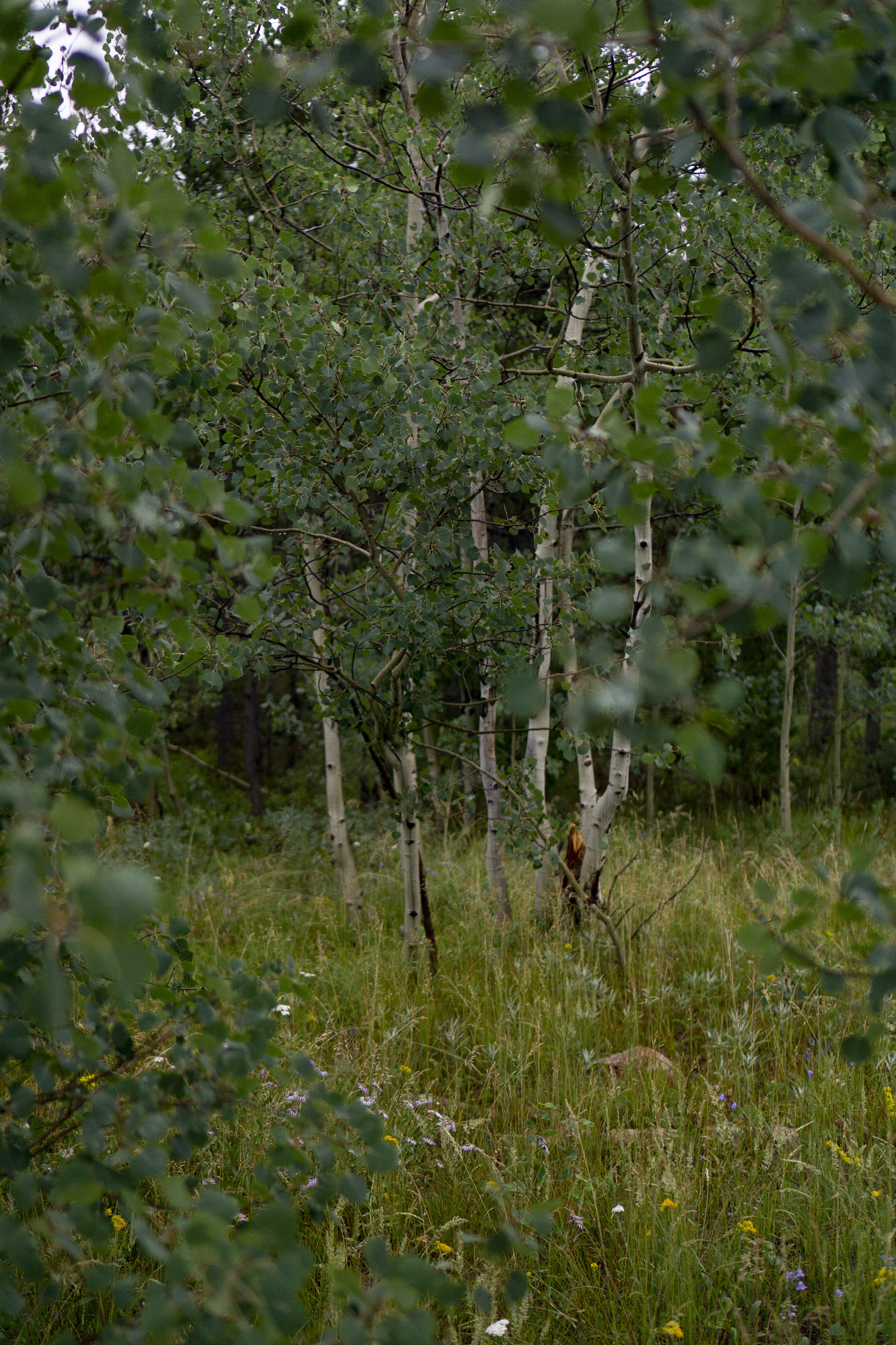 Patch of Aspen trees in Meeker Park Overflow Campground, Colorado / Darker than Green