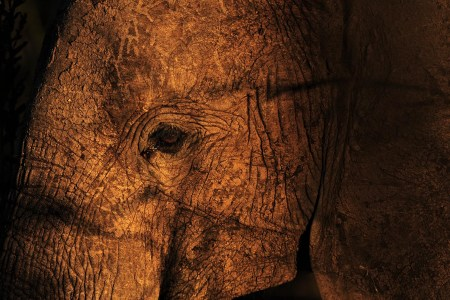 An elephant in Mikumi National Park, which borders the Selous Game Reserve, on October 13, 2013.  Photo by Daniel Hayduk